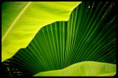 Palm Leaves ,light And Shadows With Palm Leaves,. Coconut For Graphic,green And Yellow Sunlight Of P poster