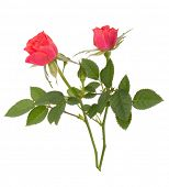 image of red rose flower  - Beautiful rose pair  isolated on white background - JPG