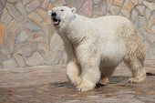 Polar Bear At The Zoo. An Animal In Captivity. Northern Bear. poster