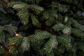 Deep Green Conifer Branches Closeup. Natural Backdrop Of Spruce Tree Needles And Shiny Christmas Lig poster