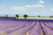 stock photo of flower arrangement  - lavender field - JPG