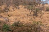 Wild Male Tiger Of Ranthambore On Stroll For Territory Marking. Landscape And Habitat Of A Wild Male poster