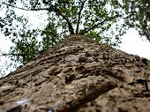 Bottom View Of A Long And Even Tree Trunk. Unusual Angle And Visible Texture Of The Trunk And Bark poster