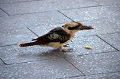 pic of blue winged kookaburra  - this is a kookaburra about to eat a chip - JPG
