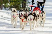 Sled Dogs Race Competition. Siberian Husky Dogs In Harness. Sleigh Championship Challenge In Cold Wi poster