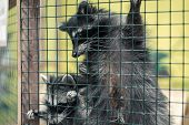 Raccoon In A Cage In The Zoo. Hard Life Of Animals In Captivity poster
