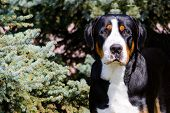 Greater Swiss Mountain Dog Portrait. The Greater Swiss Mountain Dog Is In The In The City Park. poster