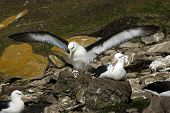 pic of albatross  - The most beautiful Albatross of the World - JPG
