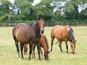 foto of mare foal  - Thoroughbred mare and foal grazing in the paddock - JPG