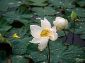 White Lotus Flower In The Pond On Blurred Background, Religious Or Spa Background poster
