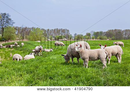 sheep standing in a field...