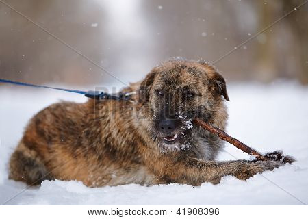 The Shaggy Mongrel Gnaws A Stick On Snow.