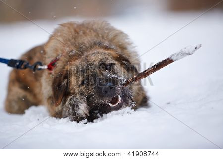 The Shaggy Dog Gnaws A Stick On Snow.
