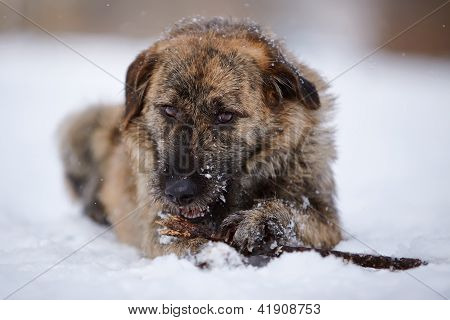 The Dog Gnaws A Stick On Snow.