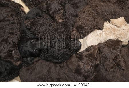 Labradoodle Pups As A Background