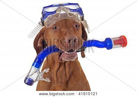 Snorkeling Dog