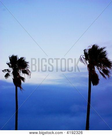 Semaphore Palms