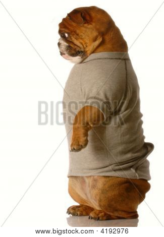 Bulldog Standing Looking Down
