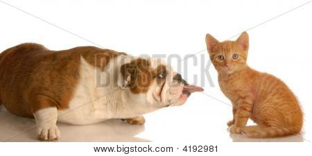 Bulldog Sticking Tongue Out At Kitten