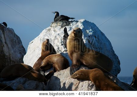 sea lions in wild