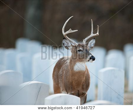 Whitetailed deer in cemetery