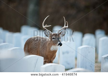 White-tailed Buck In Cemetery
