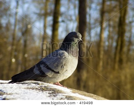 Pigeon Sitting In The Sun