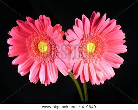 Two Pink Gerber Daisies