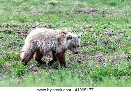 White Grizzly Bear Cub