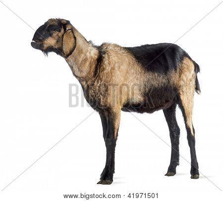 Anglo-Nubian goat with a distorted jaw, looking up against white background