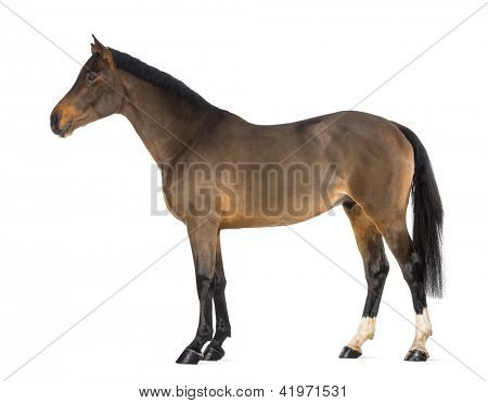 Male Belgian Warmblood, BWP, 3 years old, against white background