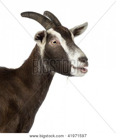 Close-up of a Toggenburg goat bleating against white background