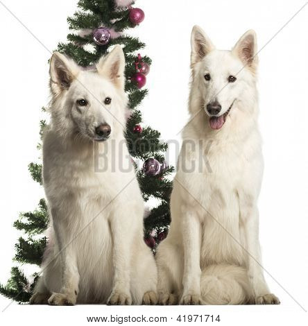 Berger Blanc Suisse sitting in front of Christmas decorations against white background