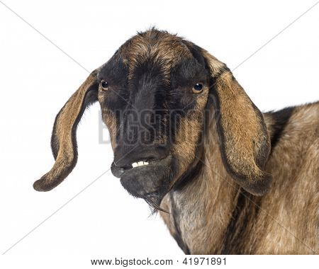 Close-up of an Anglo-Nubian goat with a distorted jaw against white background