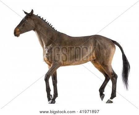 Female Belgian Warmblood, BWP, 4 years old, with mane braided with buttons, walking against white background