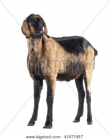 Anglo-Nubian goat with a distorted jaw against white background