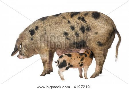 Oxford Sandy and Black piglet, 9 weeks old, suckling sow against white background