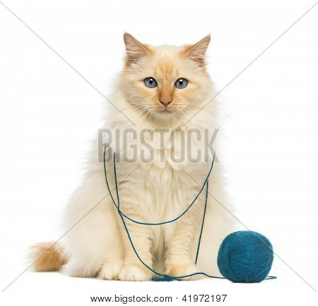 Birman sitting with ball of wool against white background