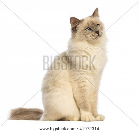 Birman sitting and looking up, crossed-eyes against white background