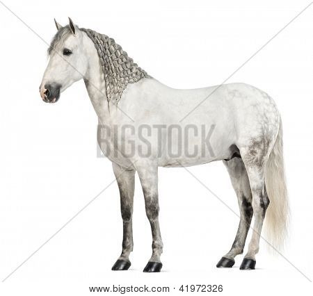 Side view of a Male Andalusian with plaited mane, 7 years old, also known as the Pure Spanish Horse or PRE against white background