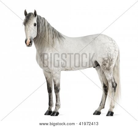 Male Andalusian, 7 years old, also known as the Pure Spanish Horse or PRE against white background