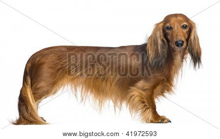 Side view of a Dachshund, 4 years old, looking at camera against white background