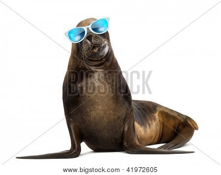 California Sea Lion, 17 years old, wearing sunglasses against white background