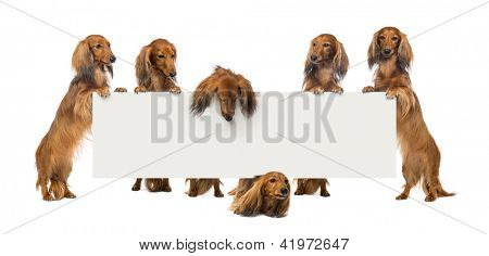 Group of Dachshund standing on hind legs and holding a white board against white background