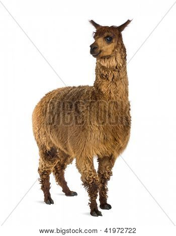 Alpaca against white background