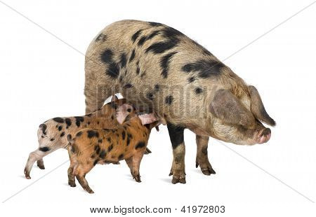 Oxford Sandy and Black piglets, 9 weeks old, suckling sow against white background