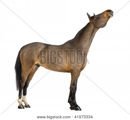 Side view of a Male Belgian Warmblood, BWP, 3 years old, stretching its neck up against white background