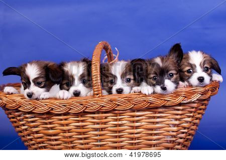 Five Papillon Puppies