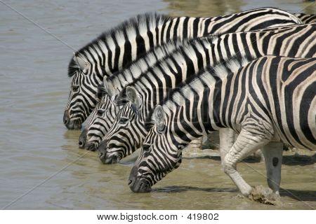 Zebras beber