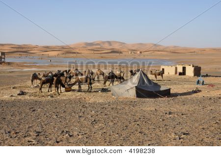Camels Feed In The Oasis, Sahara